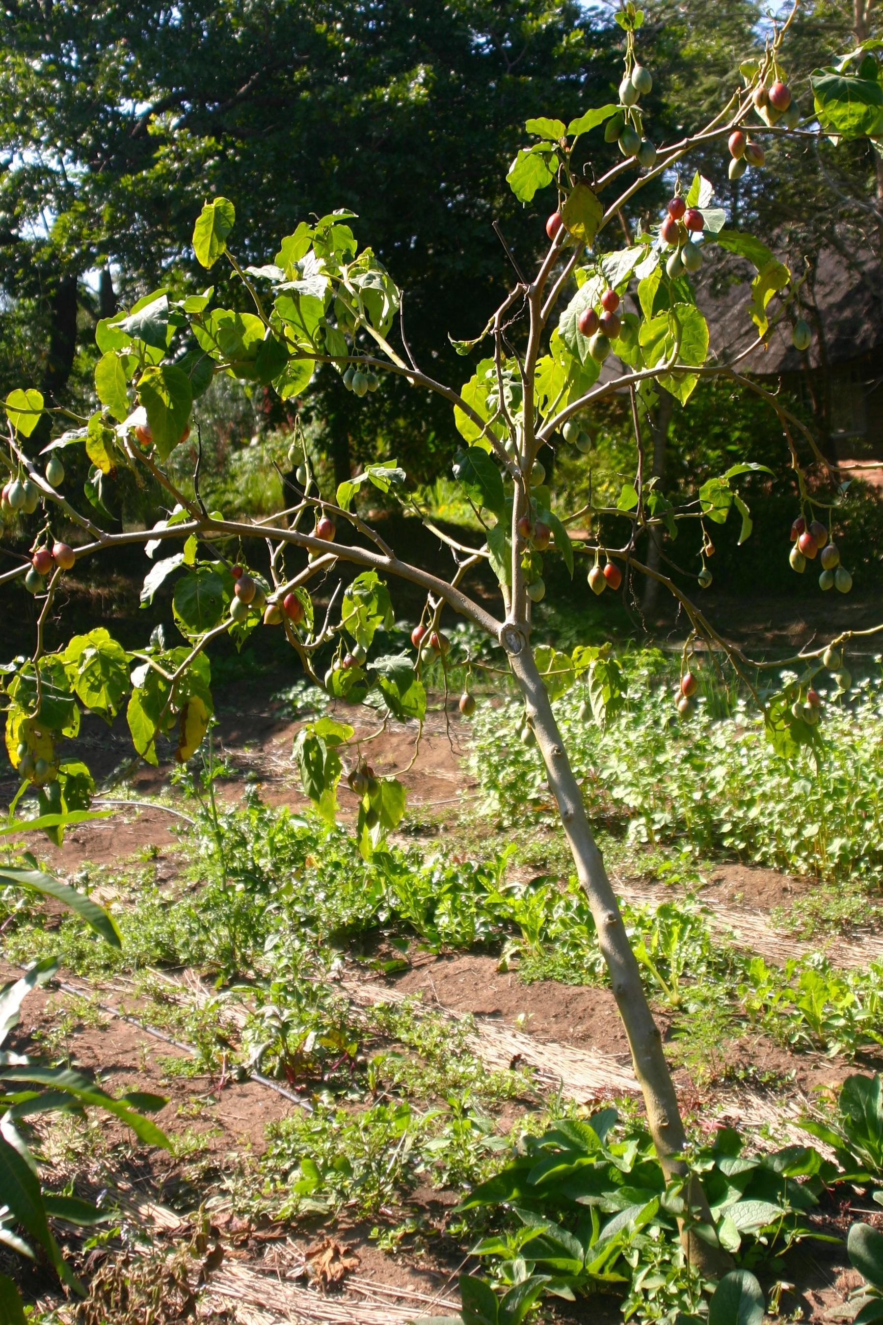 Помидорное дерево как вырастить в домашних условиях фото